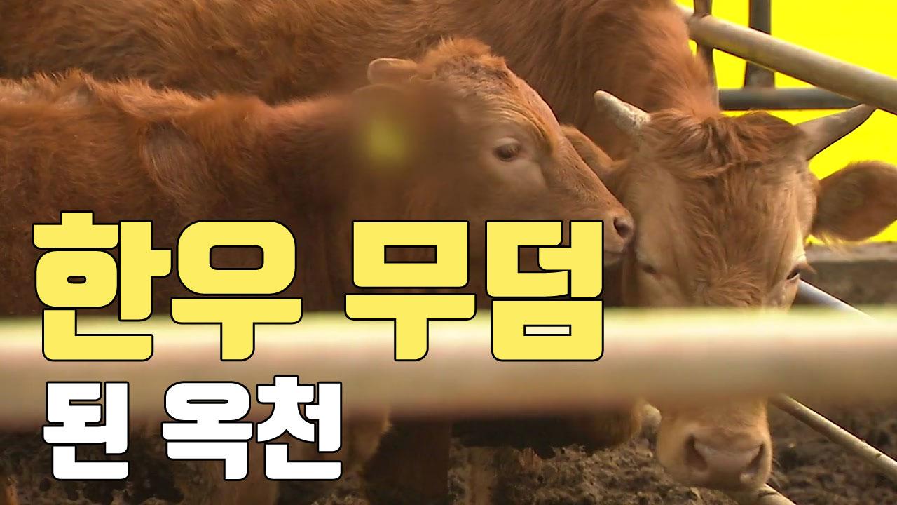 [자막뉴스] '한우 무덤'이 된 충북 옥천...무슨 일이?