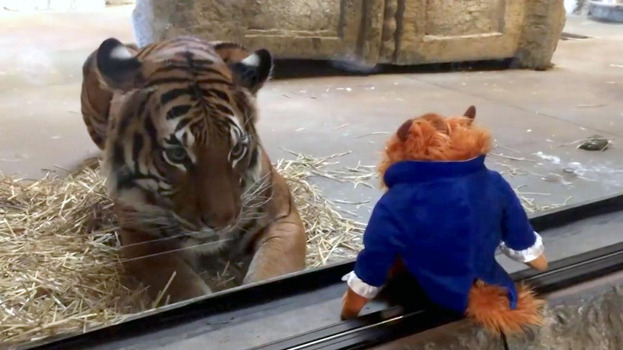 '넌 누구냐'...인형을 본 호랑이의 반응