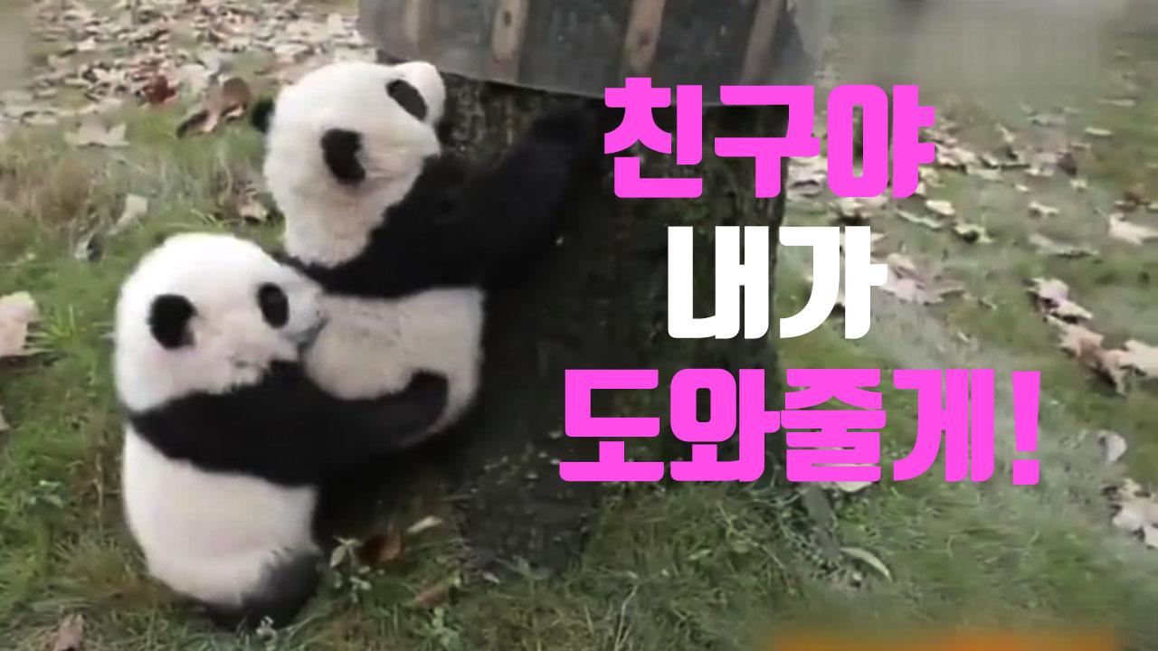 [자막뉴스] '내가 도와줄게'...새끼 판다의 애타는 우정