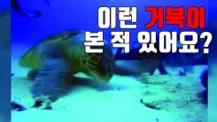 [자막뉴스] '바닷속 용왕'...800kg 넘는 장수거북