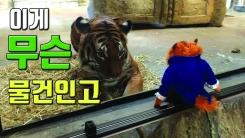 [자막뉴스] '넌 누구냐'...호랑이와 마주한 호랑이