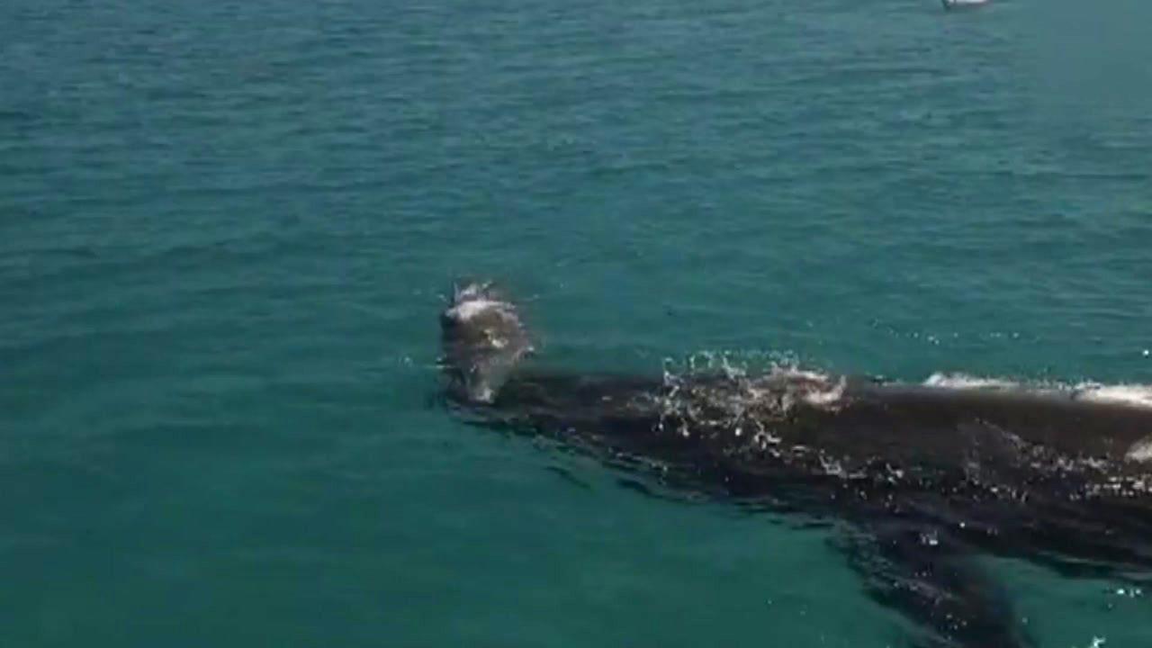 [지구촌생생영상] '아가 힘들지?'...어미 고래의 모성애
