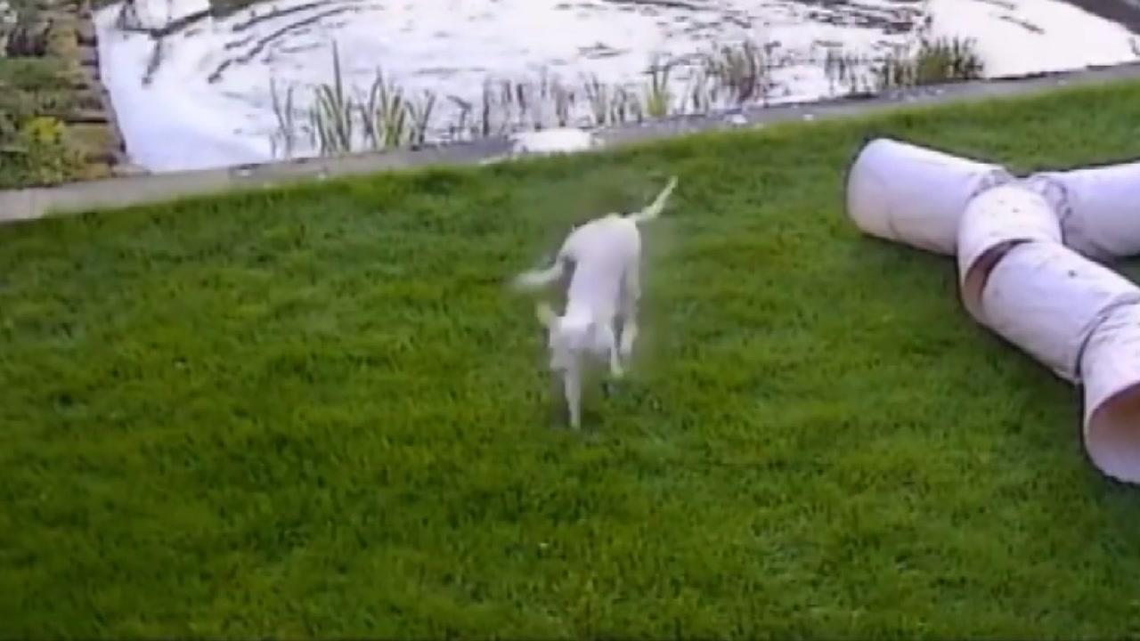 [지구촌생생영상] 고양이의 놀라운 점프력...'반드시 잡고 말겠어'