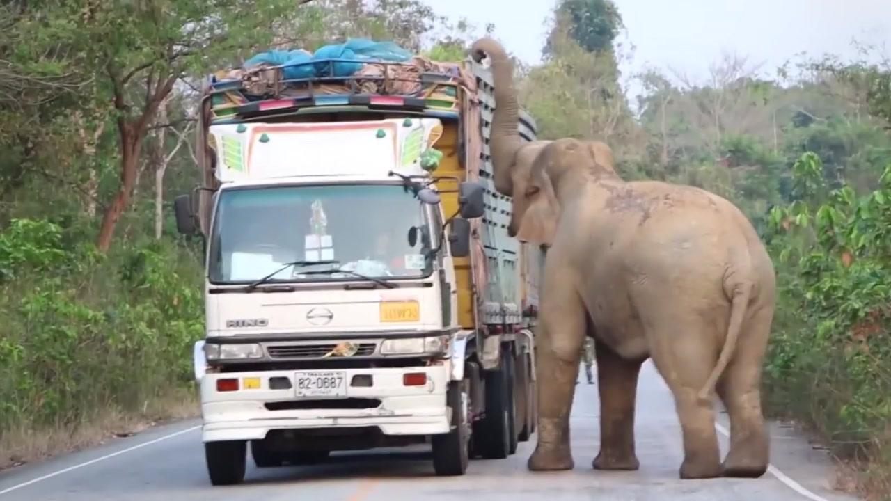 '잠시 검문 있겠습니다'...야생 코끼리의 습격