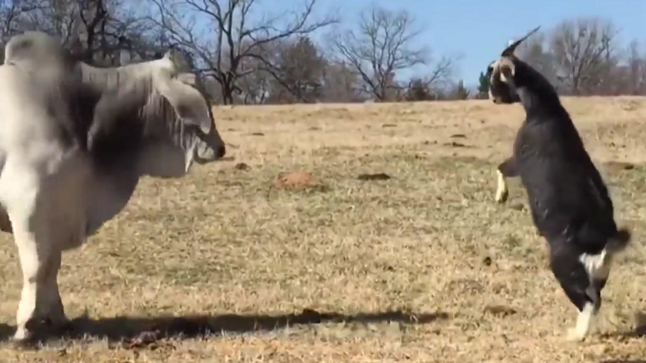 덩치 큰 소와 맞서는 작은 염소의 패기