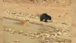 [영상] '창과 방패' 호랑이와 곰...세기의 대결