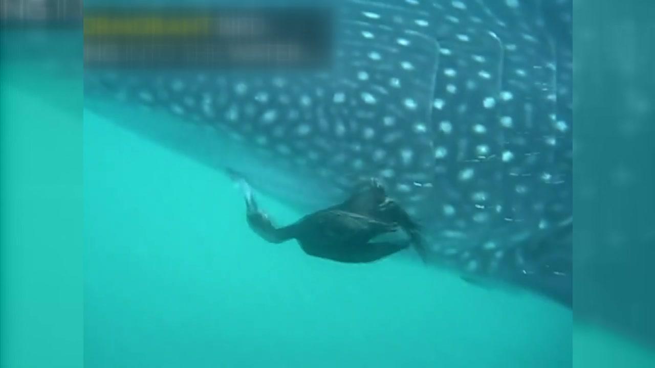 고래상어 옆...바닷새의 용감한 먹이 사냥