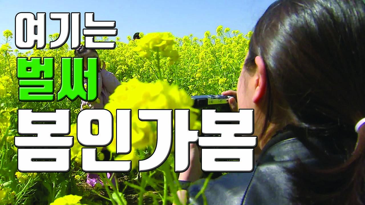 [자막뉴스] 봄향기 전하는 유채꽃...제주는 봄인가 봄