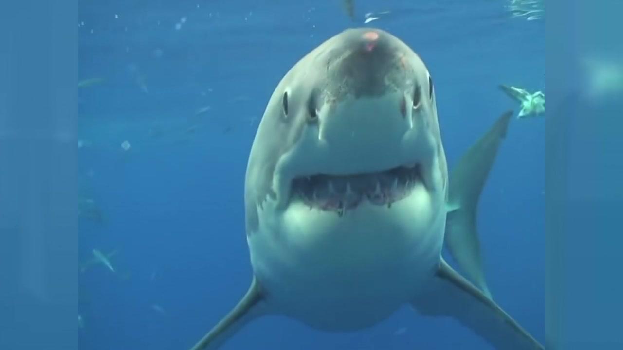 [영상] 잠수부와 백상아리의 '아찔한 만남'