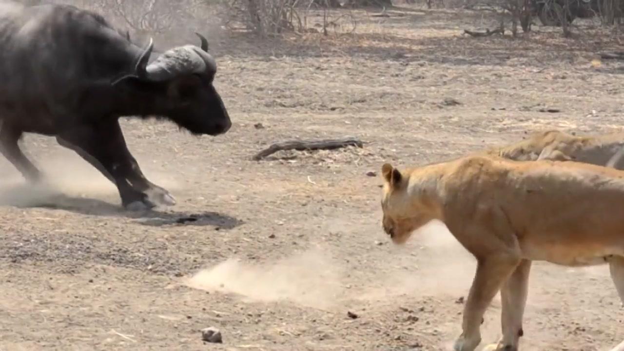 [지구촌생생영상] 사자 떼 vs. 들소 떼...한 판 붙을래?