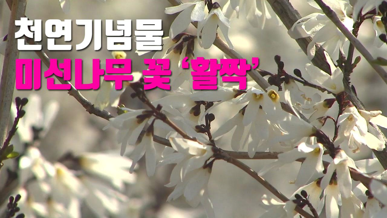 [자막뉴스] '둥근 부채' 천연기념물 미선나무 활짝