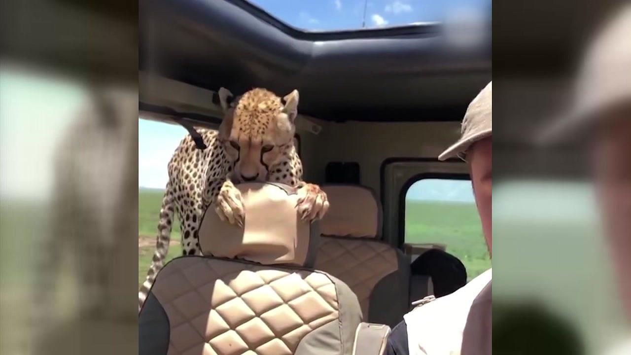 [지구촌생생영상] '나 떨고 있니?'...사파리 차량에 난입한 치타