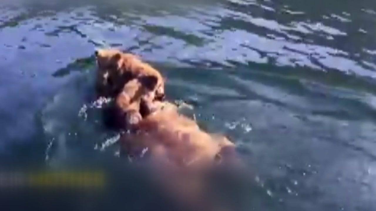 [지구촌생생영상] '감기 걸릴라'...새끼 곰 업어서 강 건너는 어미 곰