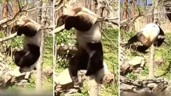 '내가 좀 무겁나'...나뭇가지에서 추락한 판다