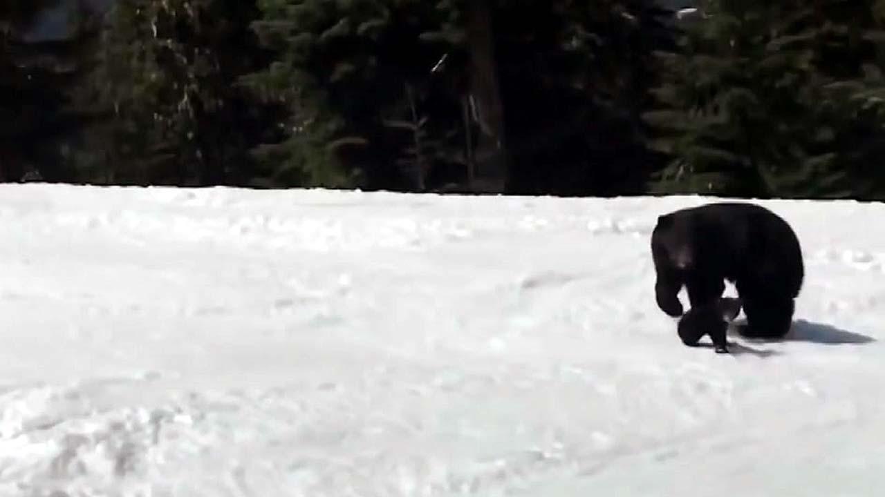 [지구촌생생영상] '아찔' 스키 타다 흑곰 마주친 남성