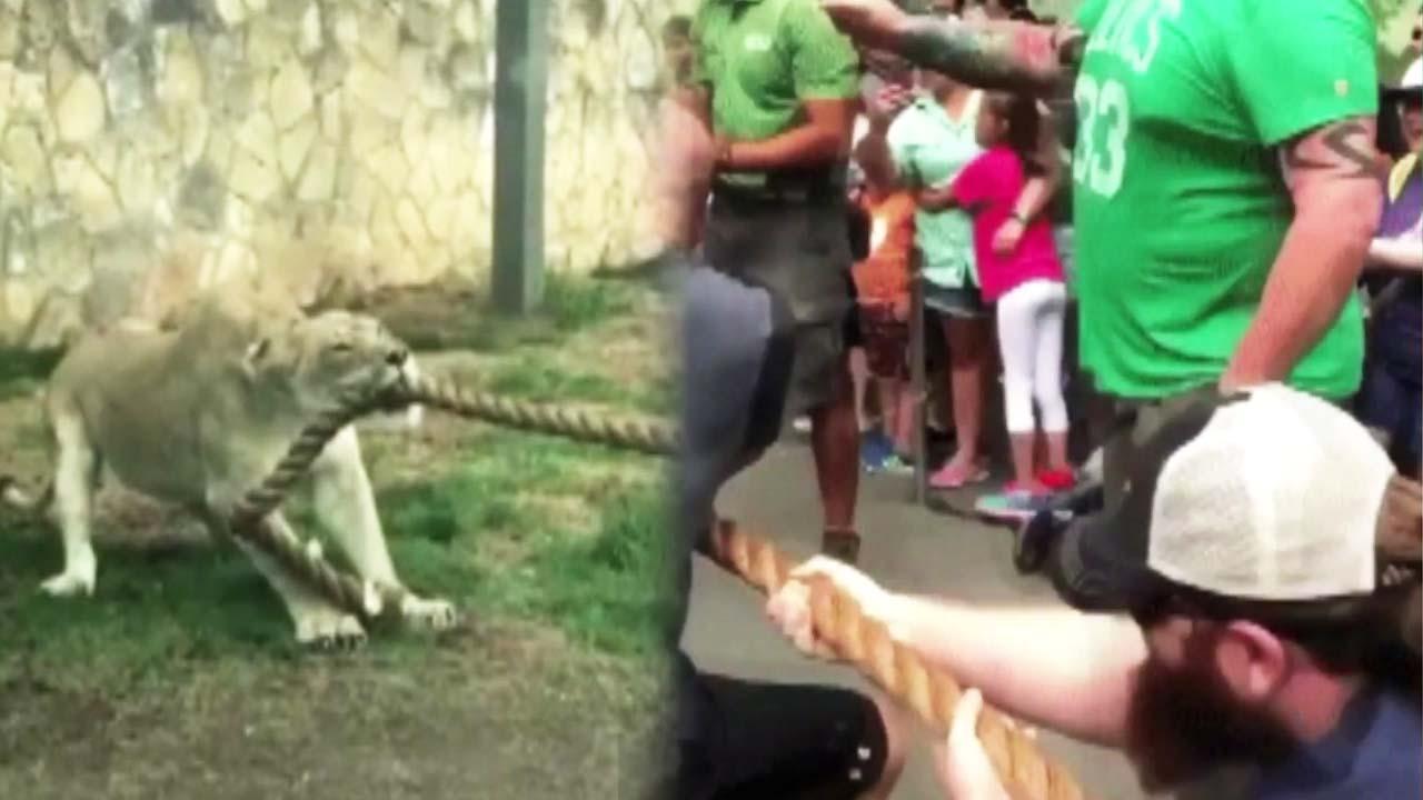 괴력남 3명 vs 암사자 1마리 '세기의 대결'