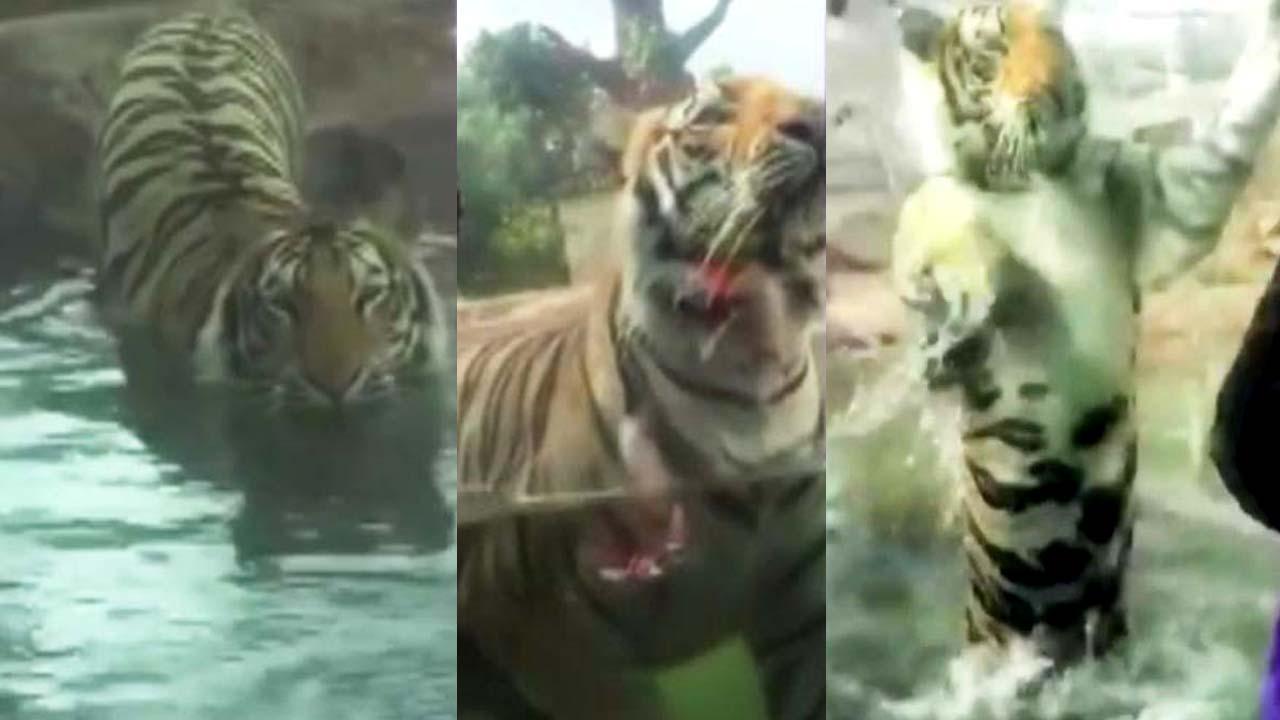 [영상] 동물원에서 사람에게 달려든 호랑이
