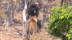 호랑이의 습격...새끼 보호하기 위한 어미 곰의 혈투