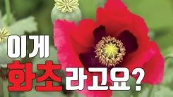 """[자막뉴스] """"양귀비 보고 화초라고""""...신고해도 못 알아본 경찰"""