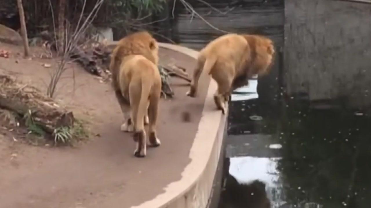 발 헛디뎌 물에 '풍덩'...정글의 왕 사자의 굴욕
