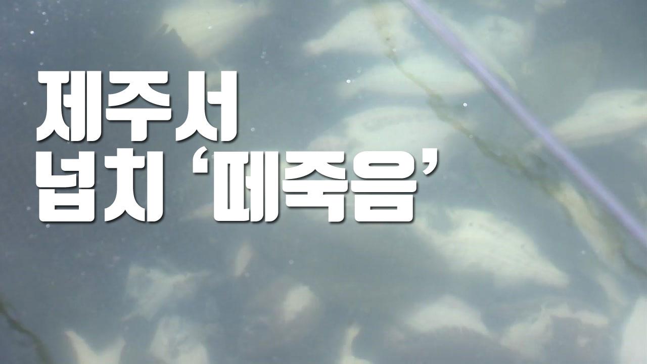 [자막뉴스] 제주서 넙치 5만 마리 '떼죽음'