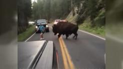 [지구촌생생영상] 무게 1t에 달하는 야생 들소 위협한 남성