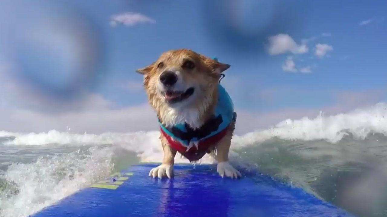 """[영상] 서핑하는 견공...""""바다가 좋아요"""""""
