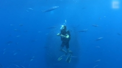 [지구촌생생영상] '고래상어' 등장하자 보호막 만든 물고기 떼