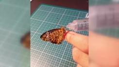 [좋은뉴스] 날개 찢어진 나비 수술해 준 '화타' 누리꾼