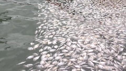 고수온에 물고기 떼죽음 피해 속출