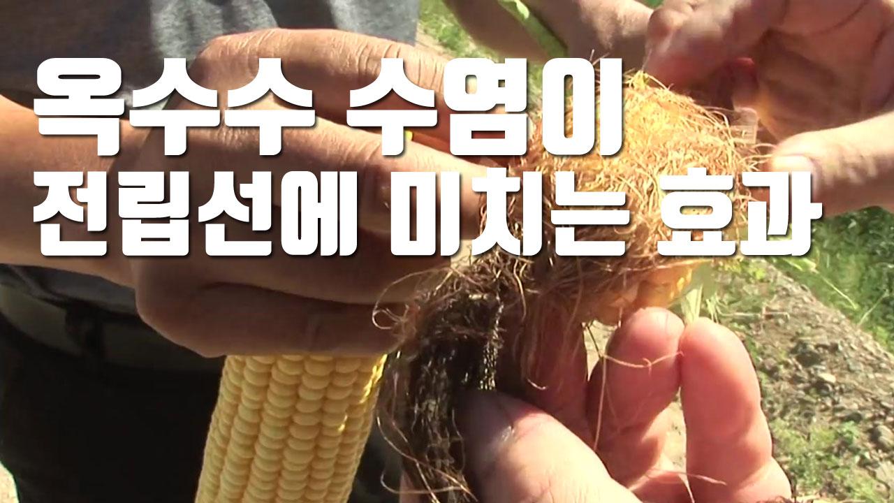 [자막뉴스] '옥수수 수염'이 전립선에 미치는 효과