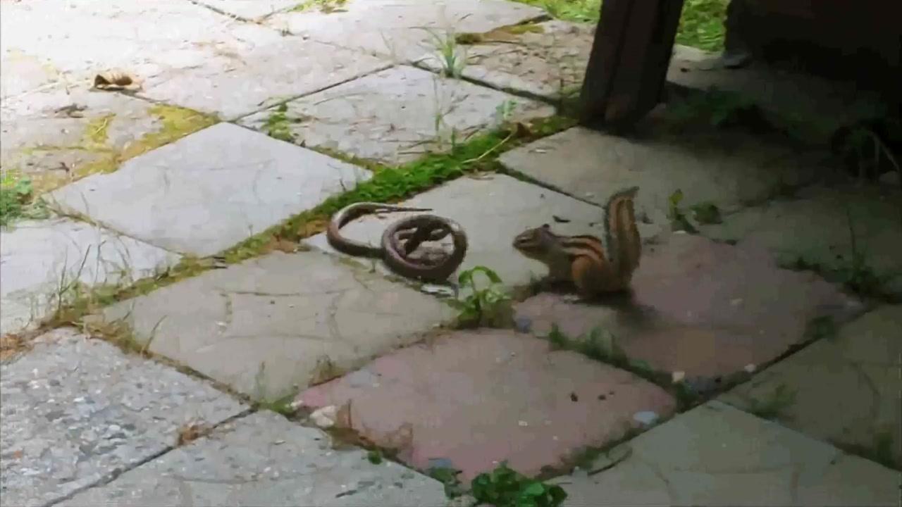 [영상] 다람쥐 잡아먹으려다 되려 물려 죽은 누룩뱀