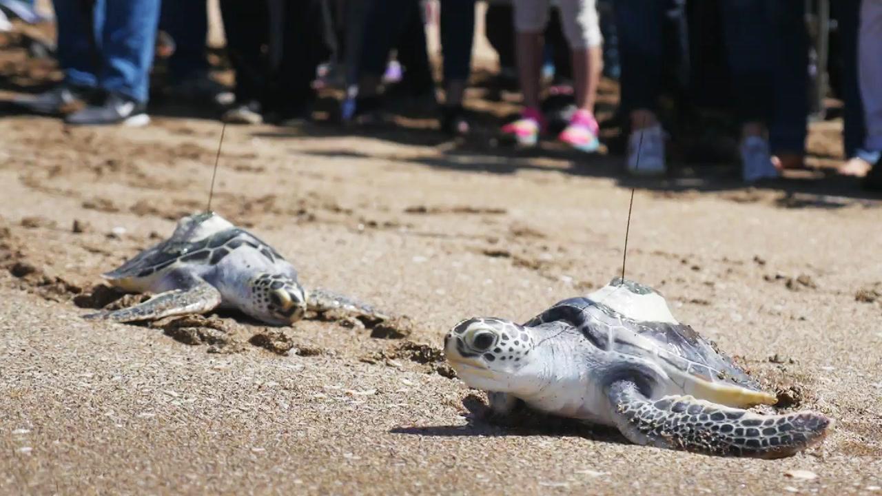 멸종위기 바다거북, 제주 앞바다에 방류