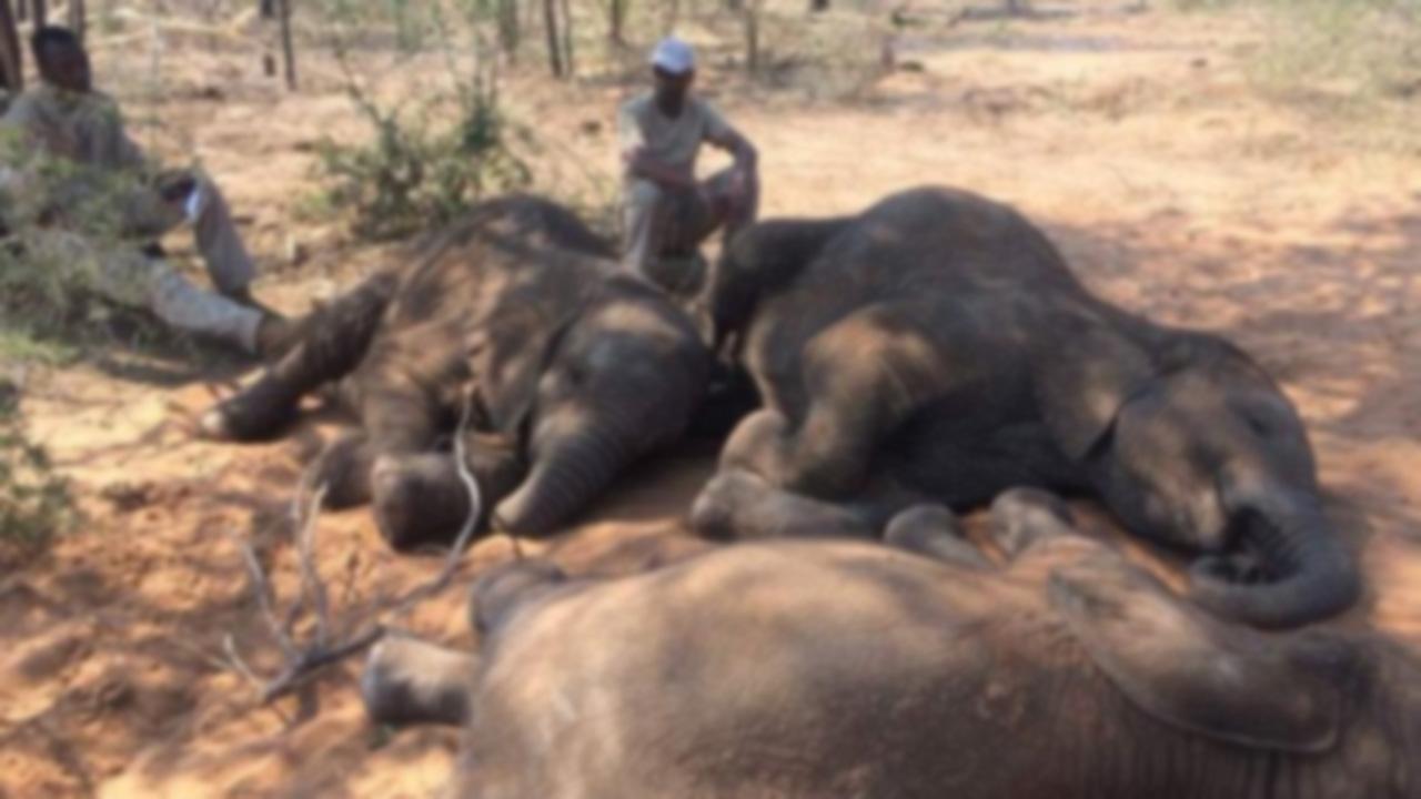 아프리카 보츠와나서 코끼리 87마리 밀렵꾼에 떼죽음
