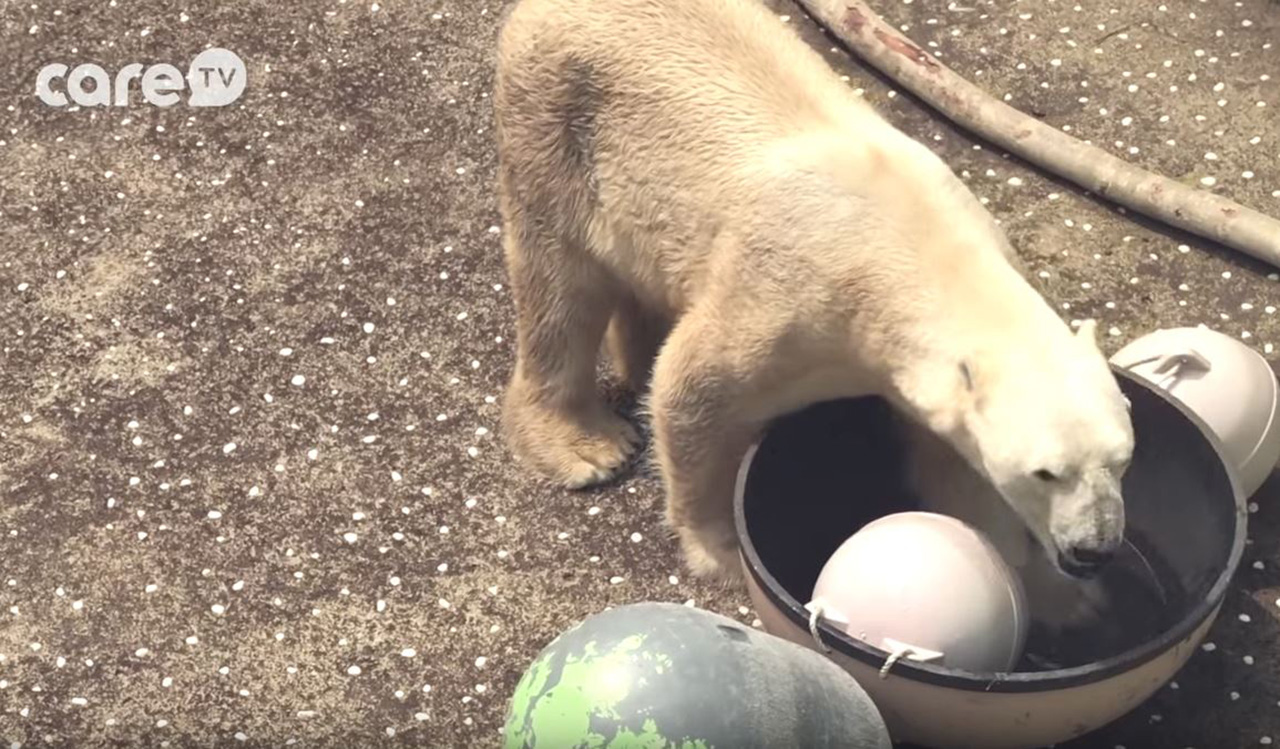 한국 동물원서 24년째 갇혀 지낸 북극곰 통키의 사연