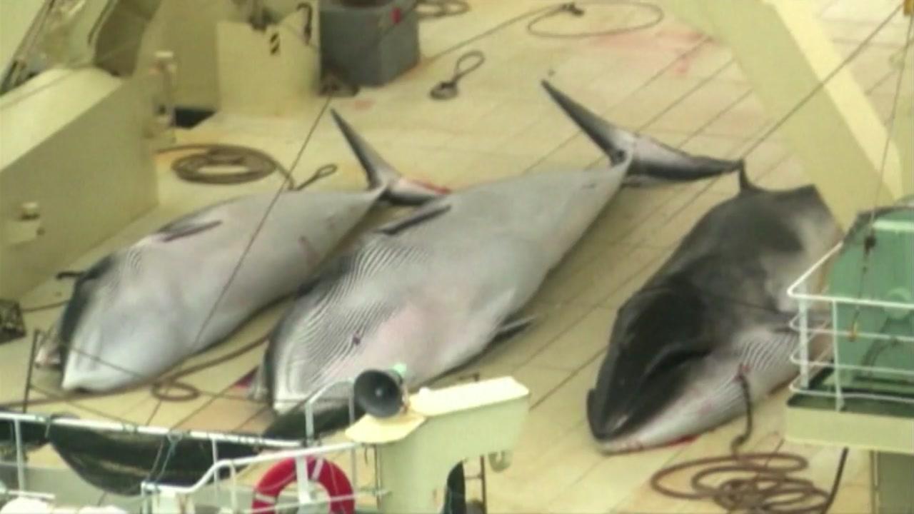 일본, 국제회의서 고래잡이 허용 추진...환경단체 등 반발