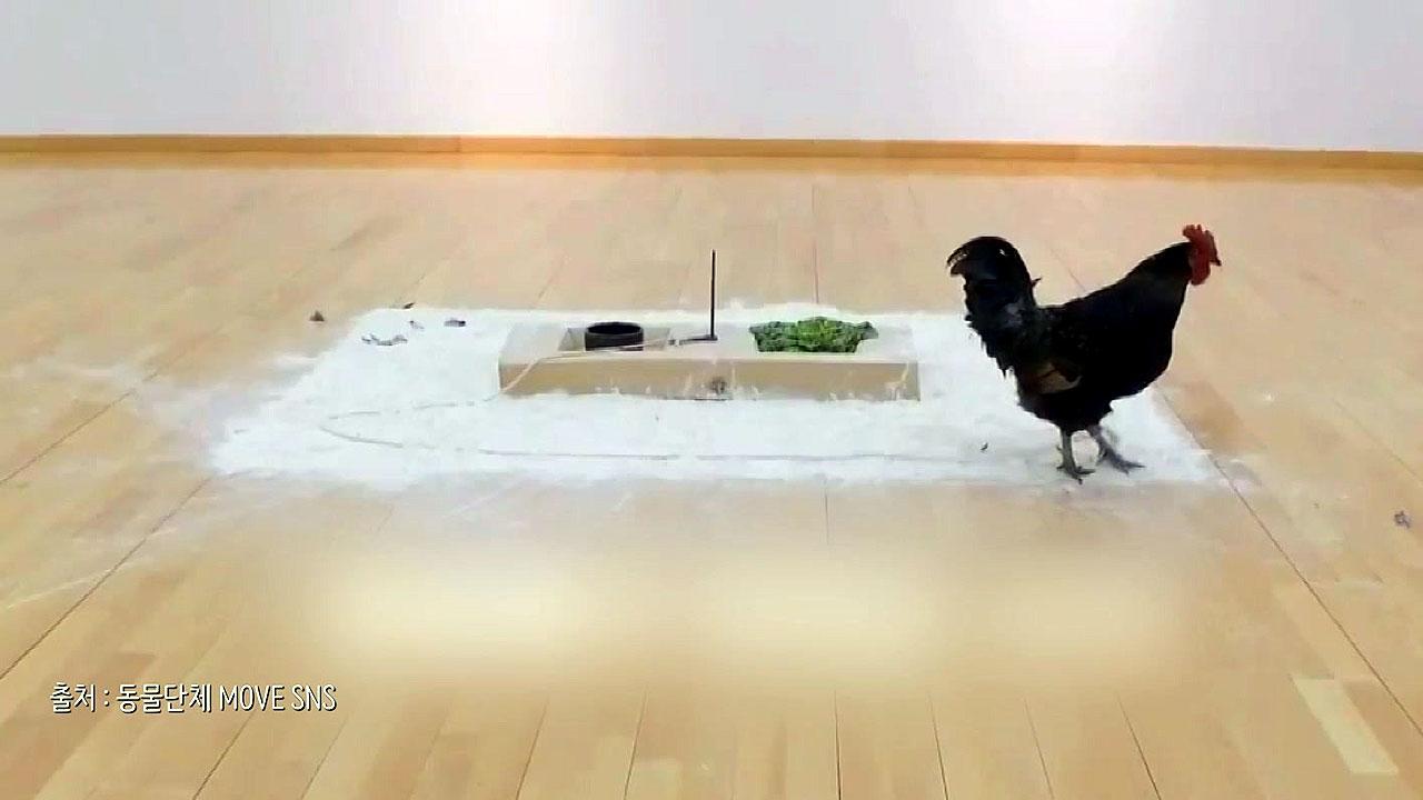 '닭의 발버둥' 예술인가, 학대인가