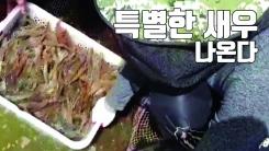 [자막뉴스] 항산화 물질 먹인 '건강 새우' 나온다