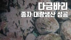 [자막뉴스] 최고급 제주특산 다금바리 종자 대량생산 성공