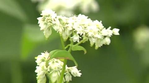 순백의 메밀꽃 만개…가을 분위기 물씬