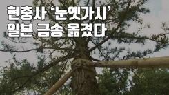 [자막뉴스] 현충사 '눈엣가시' 일본 금송 옮겼다