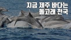 [자막뉴스] 지금 제주 바다는 돌고래 천국