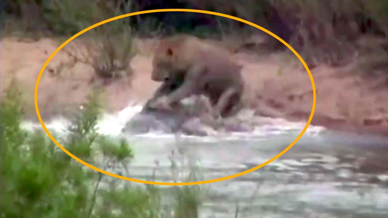 [지구촌생생영상] '강 건너는 사자' 노리고 있던 악어