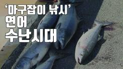 [자막뉴스] 마구잡이 낚시 기승...되돌아온 연어 '수난'