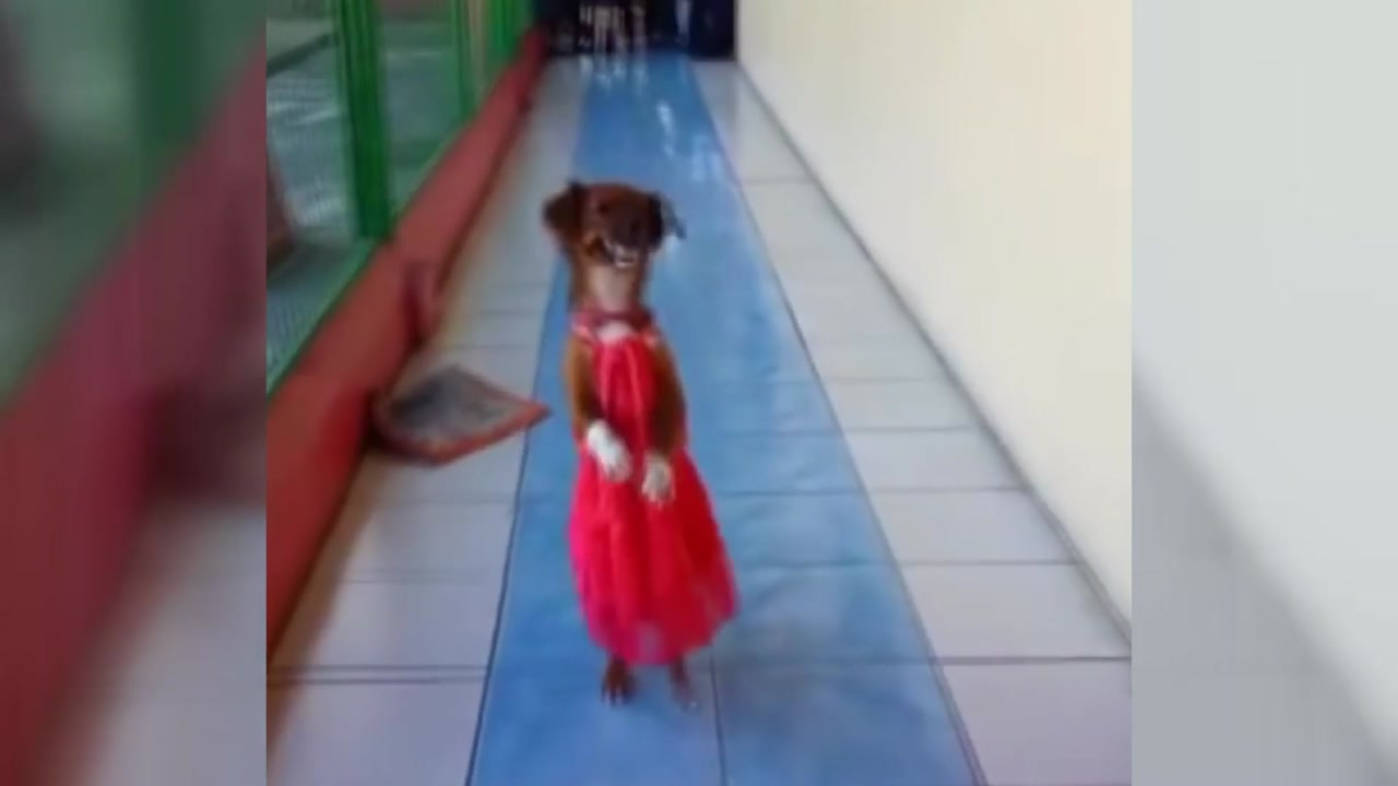 [지구촌생생영상] '당당한 걸음'...뒷다리로 서서 걷는 강아지