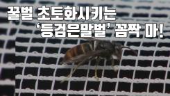 [자막뉴스] 꿀벌 초토화시키는 '등검은말벌' 꼼짝 마!
