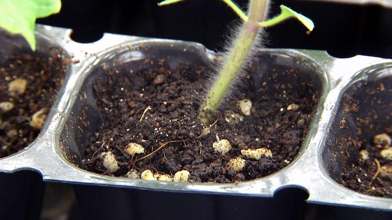 토마토 질병 막아주는 미생물 발견