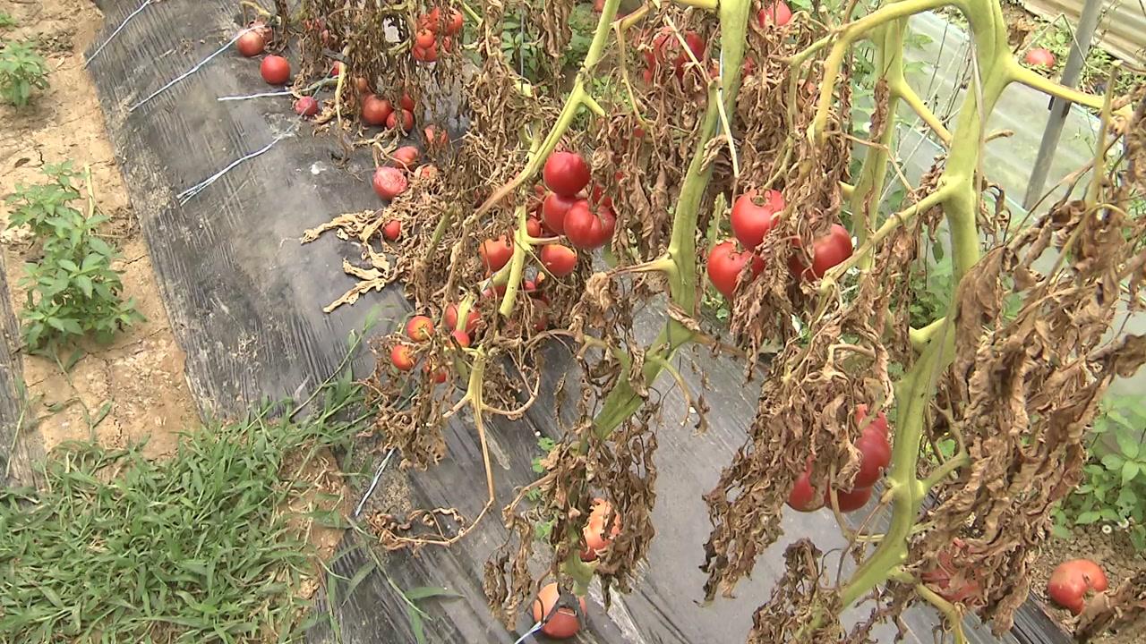 토마토 질병 막아주는 '보디가드' 미생물 발견