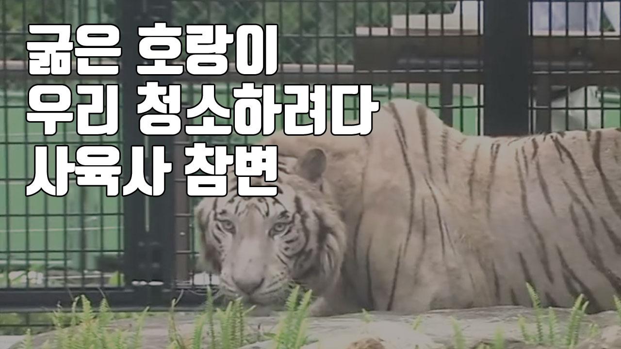 [자막뉴스] 굶은 호랑이 우리 청소하려다...사육사 참변