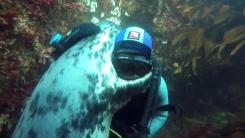 '사납다는' 야생 물범과 포옹하는 잠수부